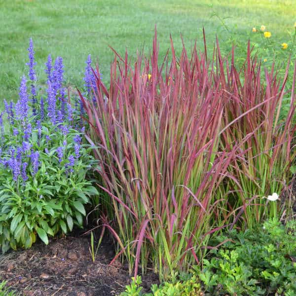 imperata red baron55  oceanview home and garden