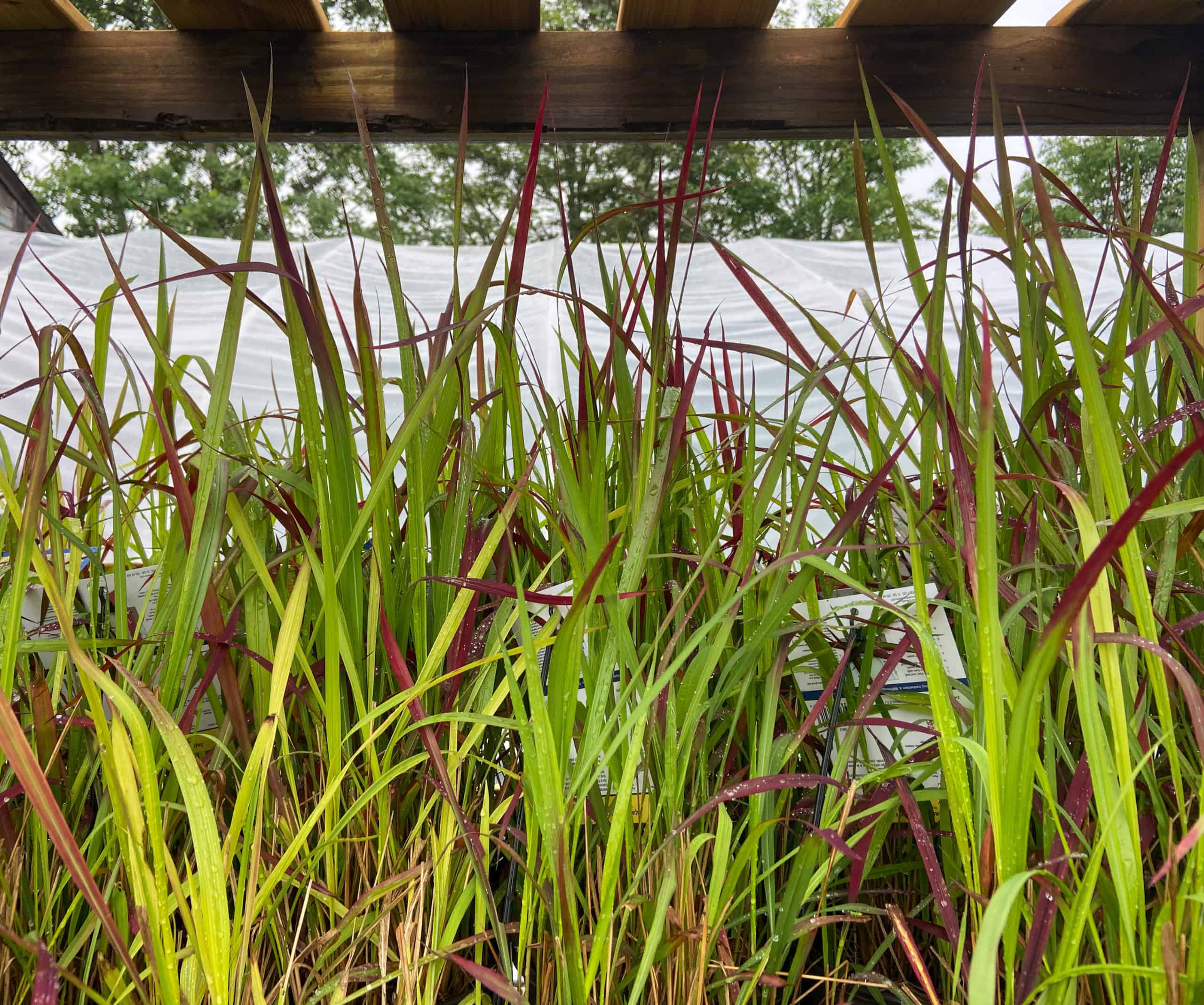 imperata red baron  oceanview home and garden