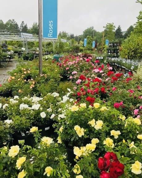 Roses Nova Scotia